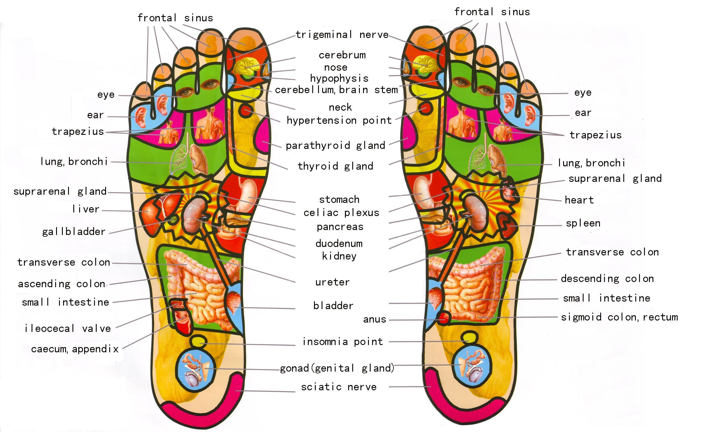 foot chart: Gratis download 5 best foot reflexology chart map with pictures