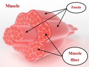 Myofascial Release_Muscle